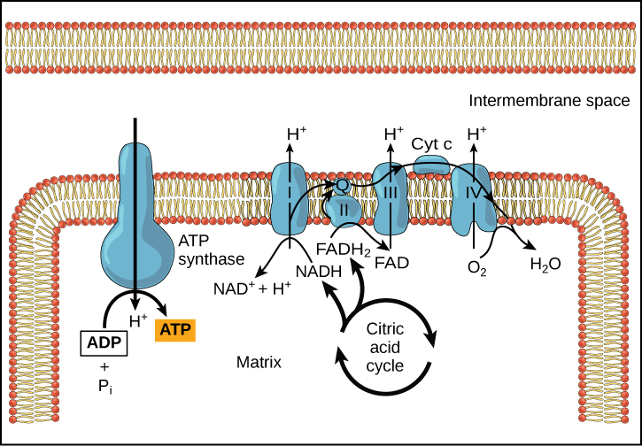 lectron Transport Chain Image