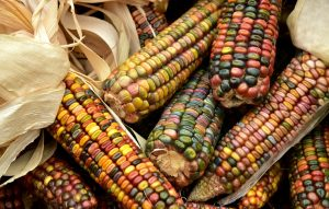 Heirloom corn